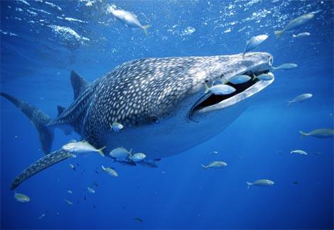 ジンベイザメの遊泳移動